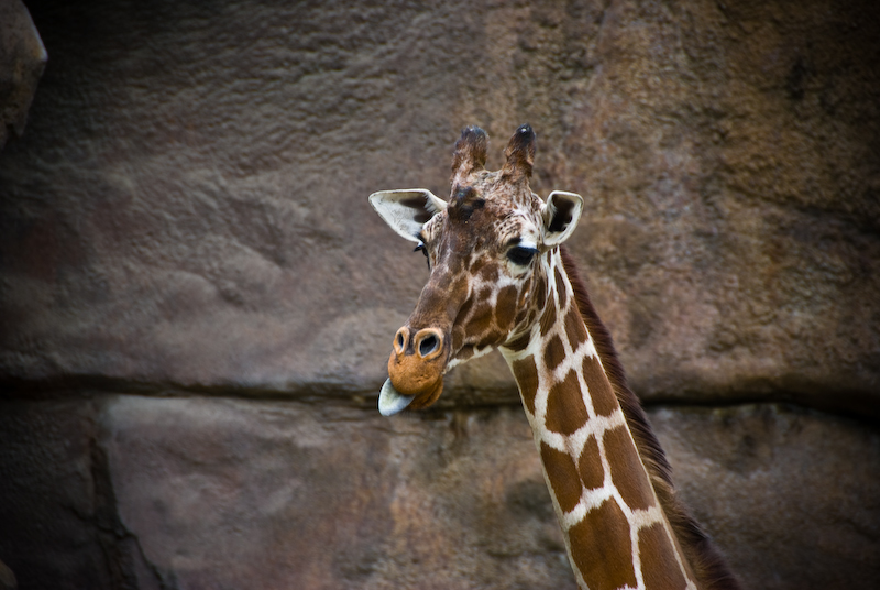 the color of a giraffe's tongue. photoblogs.org : vfxy.com : coolphotoblogs.